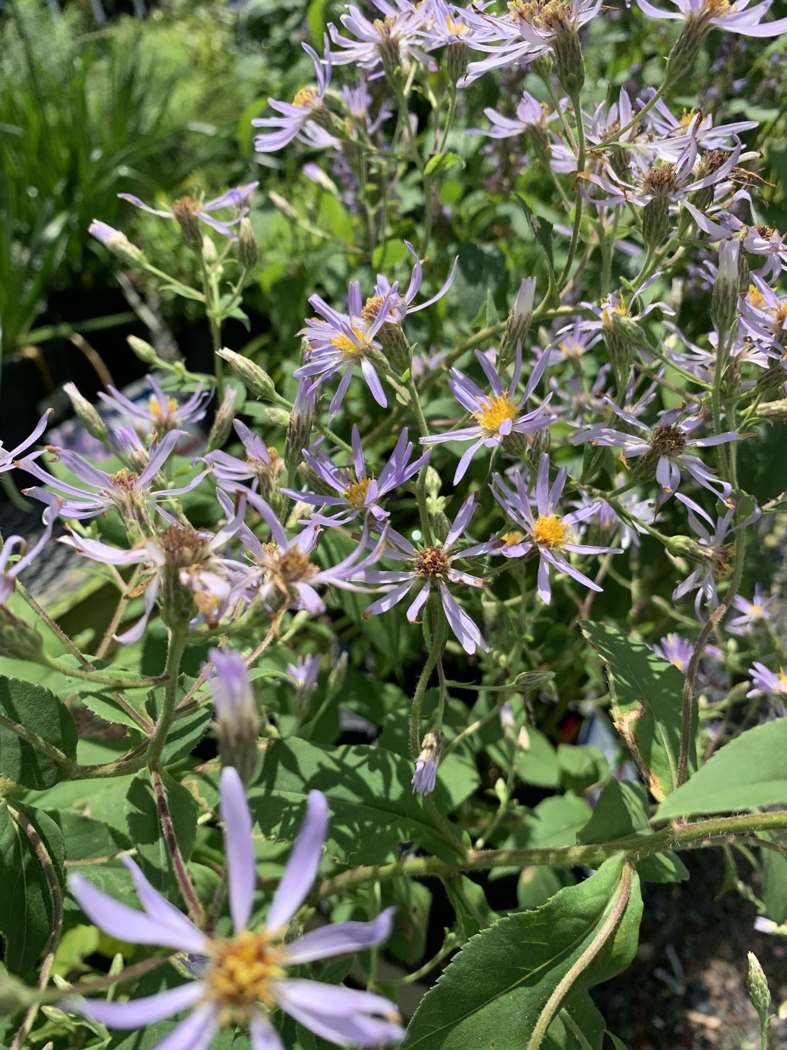 Aster macrophyllus Twilight, Bigleaf Aster #1