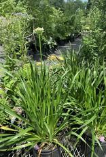 New Allium Summer Beauty, Ornamental onoin #1