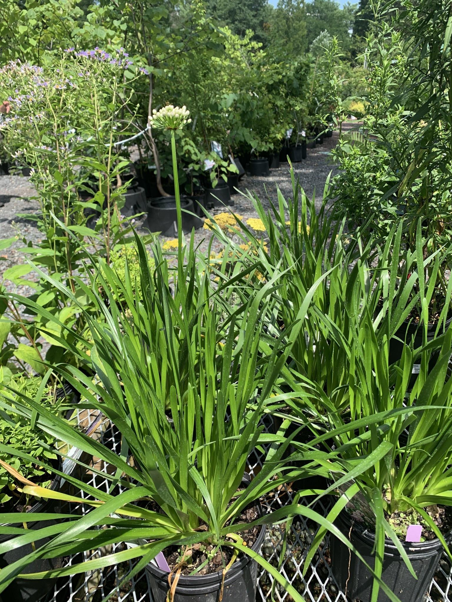 New Allium Summer Beauty, Ornamental Onion #1