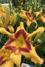 Hemerocallis Tiger Swirl Daylily, #1