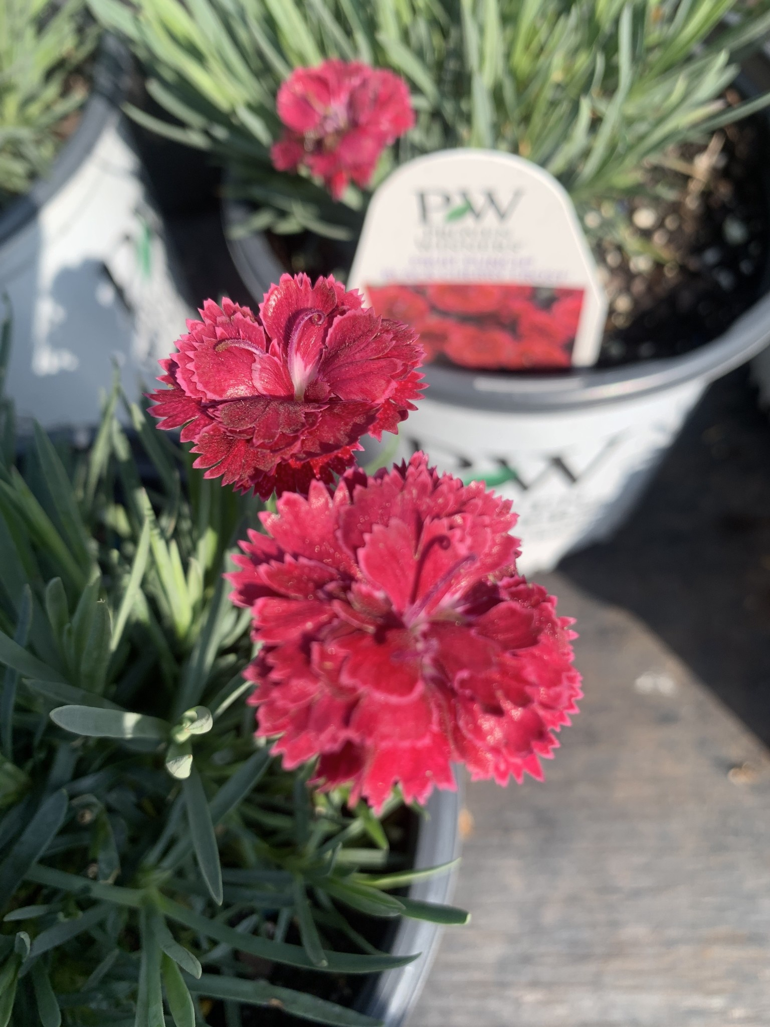 Dianthus Black Cherry Frost, Cheddar Pinks #1