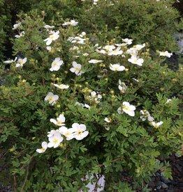 Potentilla frut. White Lady Bush Cinquefoil, Happy Face White, #3