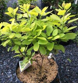 Cotinus coggygria Golden Spirit Smokebush, Golden Spirit, #3