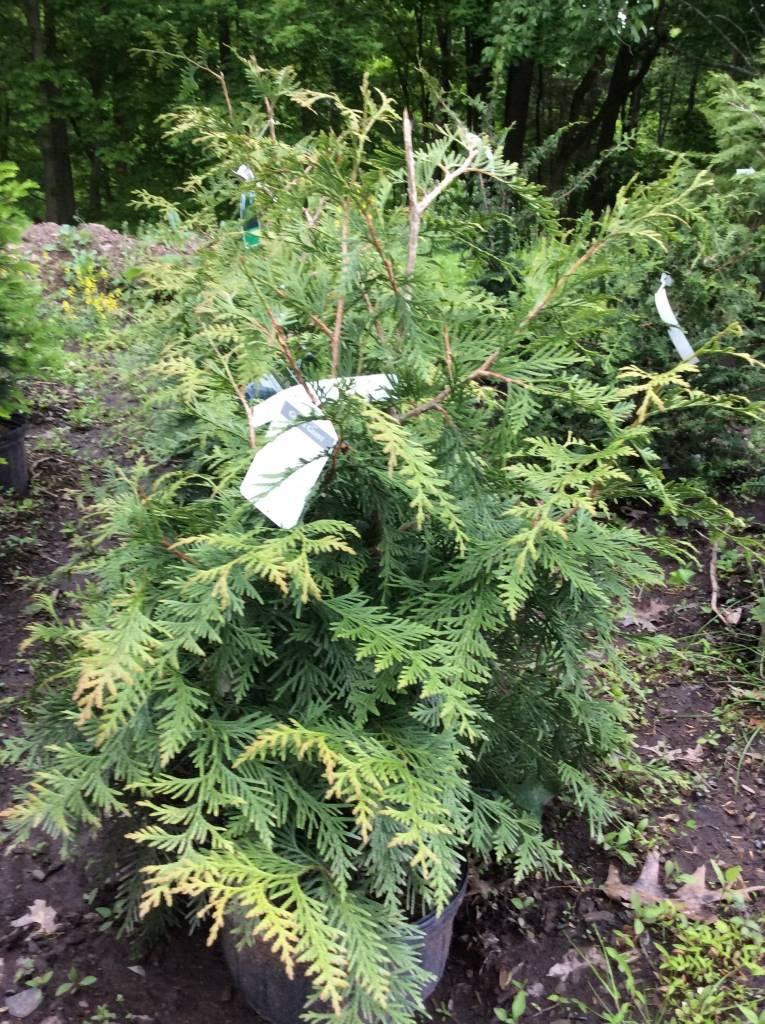 Thuja x Green Giant Arborvitae, Green Giant, #3