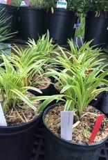 Liriope Muscari Variegata Lilyturf Variegated 1 Behmerwald