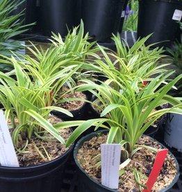 Liriope muscari Variegata Lilyturf, Variegated, #2