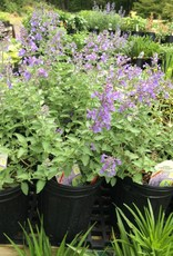 Nepeta x Junior Walker Catmint, Junior Walker, #1
