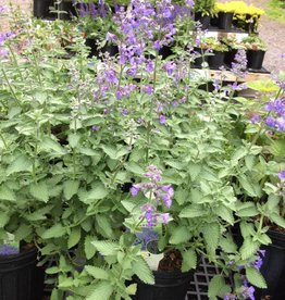 Nepeta x Walker's Low Catmint, Walker's Low, #1