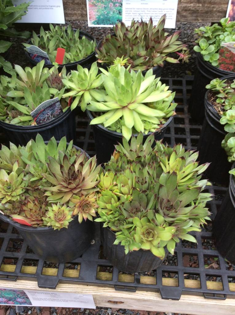 Sempervivum Mix Hens and Chicks, Mix, #1