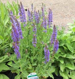 Salvia nem. Blue Hills Sage - Meadow, Blue Hills, #1