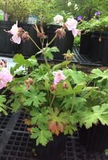 Geranium macrorrhizum Geranium, Bigroot Ingwersens variety, #1