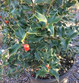 Ilex x aquipernyi Meschick Holly, Dragon Lady, #7