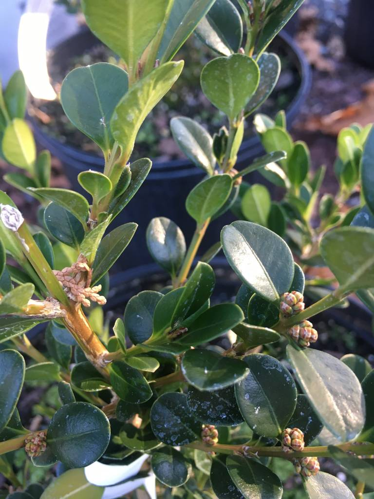 Buxus micro. Winter Green Boxwood, Wintergreen Korean, #3