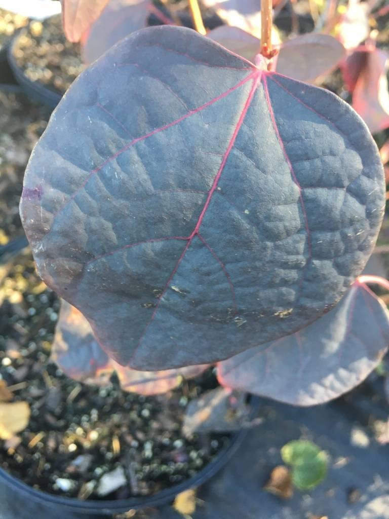 Disanthus cercidifolius Disanthus, #3