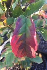 Parrotia persica Vanessa, Ironwood - Vanessa, #5