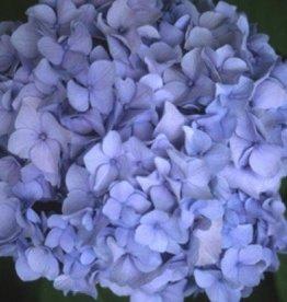 Hydrangea mac. Nikko Blue Hydrangea - Mophead, Nikko Blue, #5