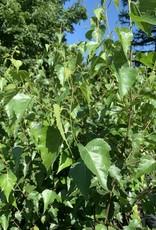 Native Tree Betula papyrifera, Paper birch #3