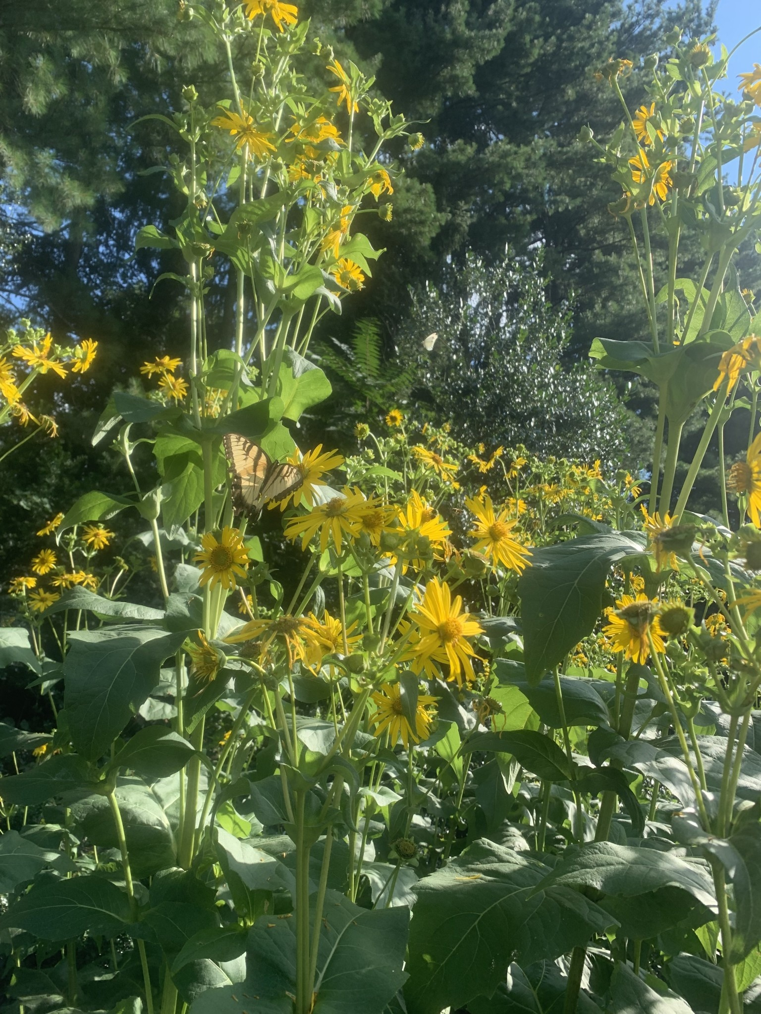 Silphium perfoliatum, Cup Plant #1 Container