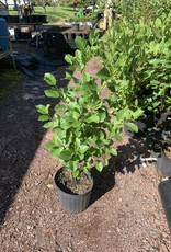Native Shrub Alnus serrulata, Hazel alder or smooth alder #3 container