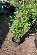 Native Shrub Alnus serrulata, Hazel alder or smooth alder #3 container
