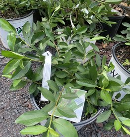 Nativar Shrub Aronia mel.  Ground Hog Chokeberry, #3