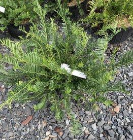Cephalotaxus har. Fritz Huber Japanese Plum Yew, Fritz Huber, #3