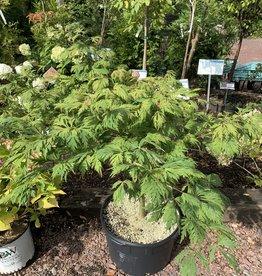 Acer Japonicum Aconitifolium, Full Moon Maple