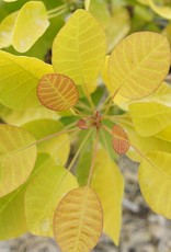 Cotinus coggygria Winecraft Gold Smokebush, Winecraft Gold, #3