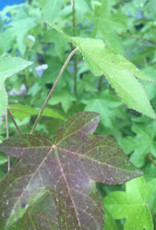 Native Tree Liquidambar styrac. Sweetgum, #3