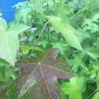 Native Tree Liquidambar styrac. Sweetgum, #3