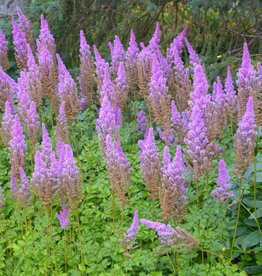 none Astilbe Purple Candles Astilbe, Purple Candles, #1
