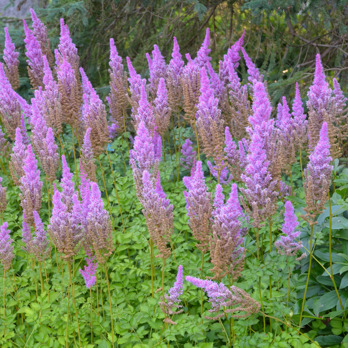 New Astilbe Purple Candles Astilbe, Purple Candles, #1
