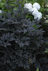 Cimicifuga Hillside Blk Beauty Snakeroot, Black, #1