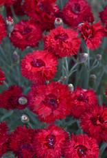 - Dianthus Maraschino, Cheddar Pinks #1