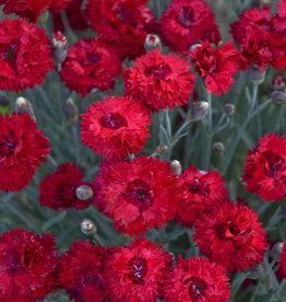 New Dianthus Maraschino, Cheddar Pinks #1