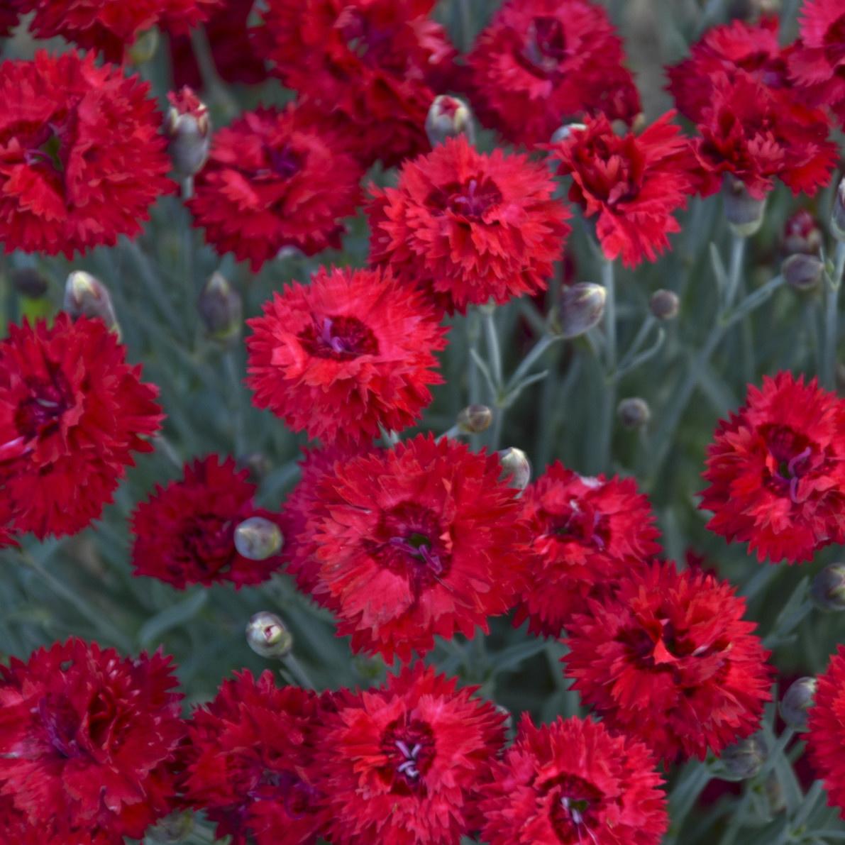 none Dianthus Maraschino, Cheddar Pinks #1