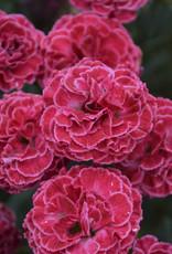 New Dianthus Raspberry Ruffles, Cheddar Pinks #1