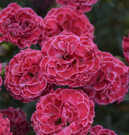 New Dianthus Raspberry Ruffles, Cheddar Pinks #1