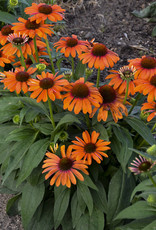 New Echinacea  Orange You Awesome, Coneflower #1