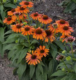 New Echinacea  Orange You Awesome, Coneflower #1