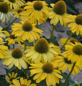 New Echinacea  Yellow my Darling, Coneflower #1