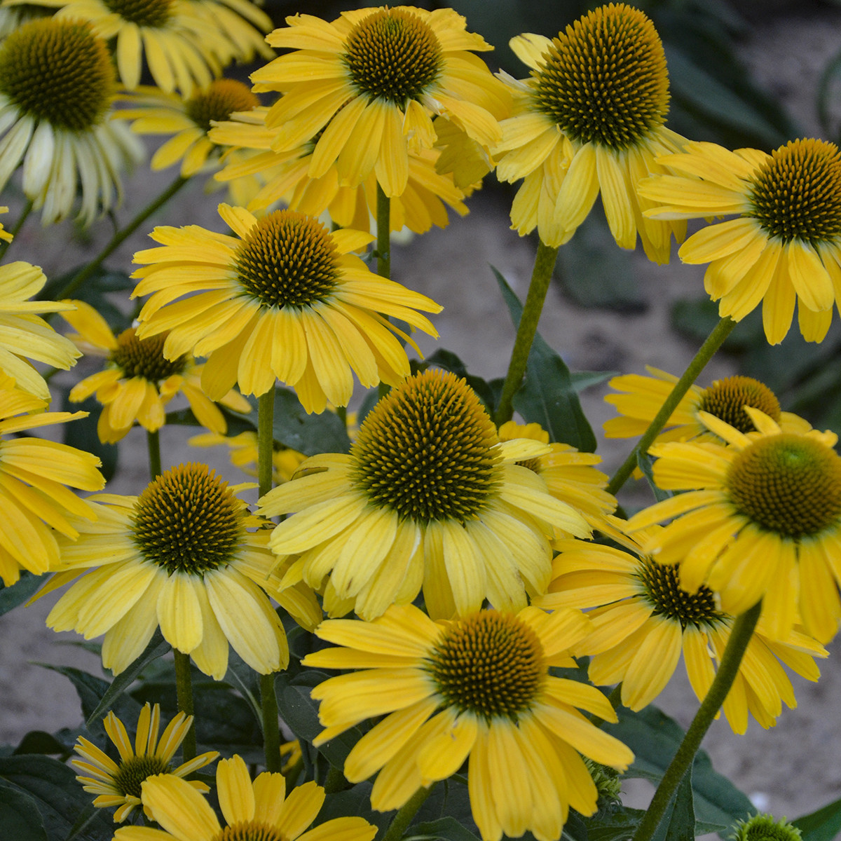 Echinacea  Yellow my Darling, Coneflower #1