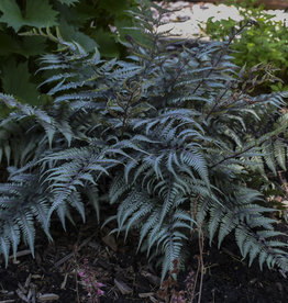New Athyrium nip. Godzilla - Giant Japanese Painted Fern,  #1