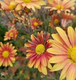 New Chrysanthemum Campfire Glow, Mum
