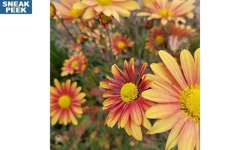 Chrysanthemum Campfire Glow, Mum
