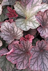 New Heuchera carnival Rose Granita Coral Bells, #1