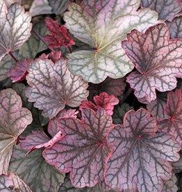 Heuchera carnival Rose Granita Coral Bells, #1