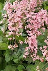 Heucherella Pink Revolution Foamy Bells, #1