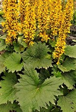 New Ligularia steno. Little Rocket Leopard Plant, Little Rocket, #1