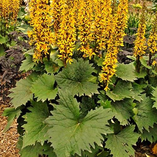 none Ligularia steno. Little Rocket Leopard Plant, Little Rocket, #1